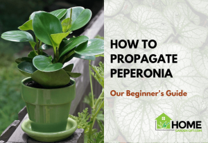 HOW TO PROPAGATE PEPERONIA