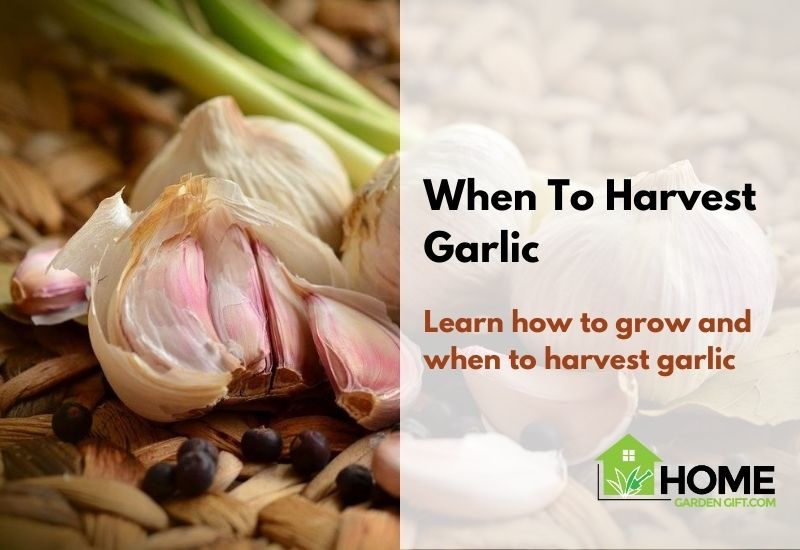 When to harvest garlic featured image